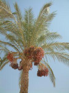 dates_palm